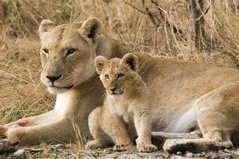 Filelioness And Cubjpg  Wikimedia Commons