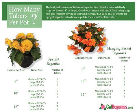 planting begonia bulbs how many tubers per pot