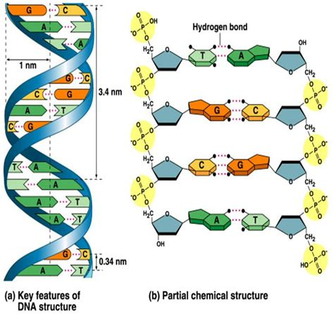 structure of dna genetics
