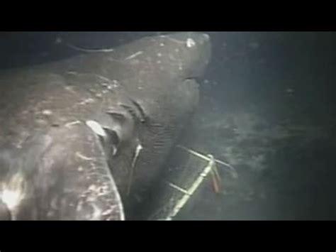 megalodon caught  camera evidence shark  lives