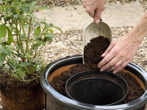 growing blueberry plants in pots growing blueberries in pots saga