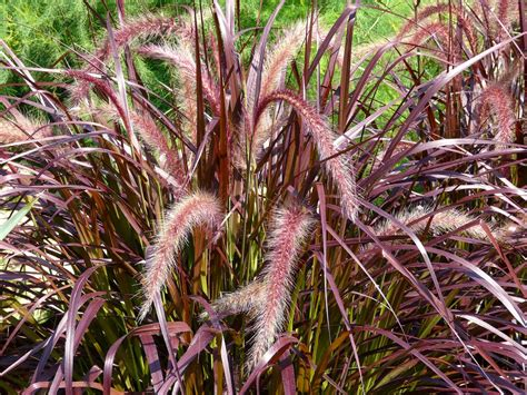 pennisetum setaceum rubrum purple grass plantwerkz red fountain grass pennisetum rubrum