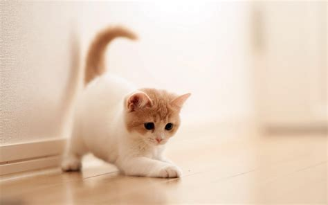 Cute Cats Hd Wallpapers Beautiful Cat Pictures One White