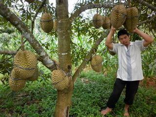 Musim Durian tlah tiba Catatan kecil elieva