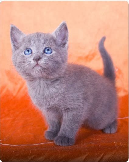 cat cost how much does a russian blue kitten cost many