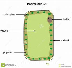 Labelled Diagram Of Plant Palisade Cell Stock Photo
