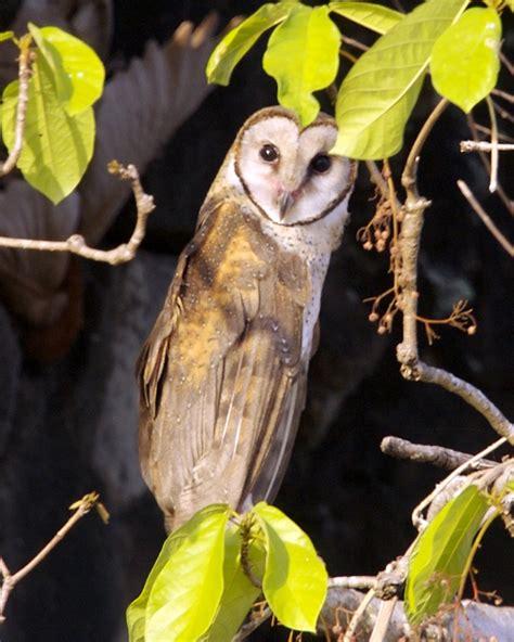 sulawesi masked owl wikipedia