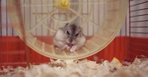 Cage A Cochon D Inde : cage du cochon d 39 inde habitat du cochon d 39 inde ~ Dallasstarsshop.com Idées de Décoration