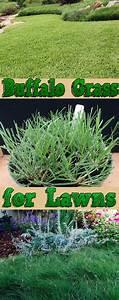 Quiet Corner:Buffalo Grass for Lawns - Quiet Corner