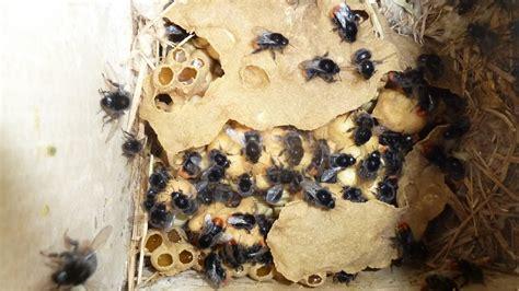 history   bumblebee nest bombus lapidarius youtube