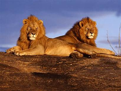 Lion Screensavers Wallpapers Mountain Wallpapersafari Amazing