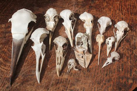 Birds Bird Skulls Jane Darke