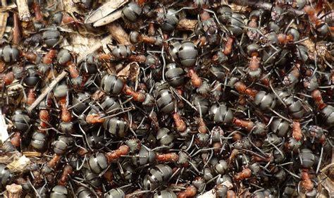 Ameisenplage Im Garten Bek Mpfen 2797 by Rote Ameisen Im Rasen Ameisen Im Rasen Ameisen Im Rasen