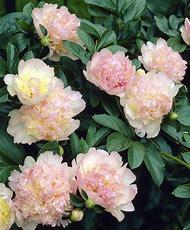 Flowers Peonies Bulbs