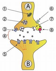 Synaptic Vesicle