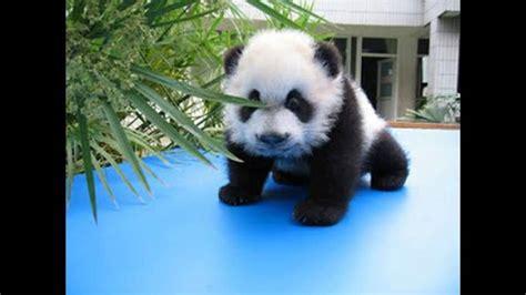 los ositos pandas tiernos youtube