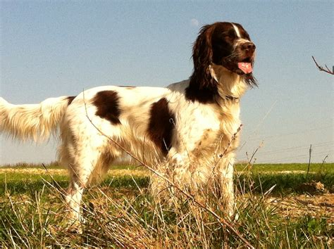 french spaniel dog puppy dog gallery