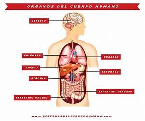 Sistemas Del Cuerpo Humano   Aparatos  U0026 Funciones  U0026 Organos