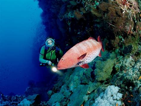 grouper fish goliath atlantic coral eat language endangered sign species dangerous does pouted uses attack