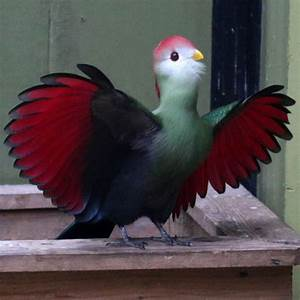 What Is Violet In Light As A Feather Red Crested Turaco