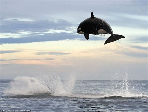 Look Out, He's Behind You! Eight-ton Orca Leaps 15ft Into