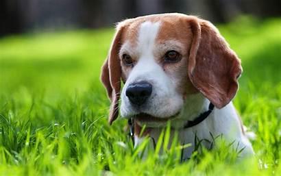 Beagle Wallpapers Desktop 4k