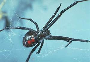 Black Widow Spider | Animal Wildlife