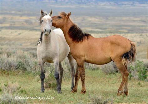 horses wild wash basin sand mustangs mcintyre cindy