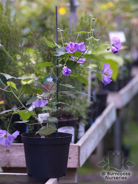 abutilon  suntense  burncoose nurseries