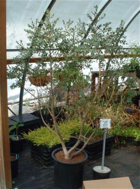 eucalyptus in a pot eucalyptus gunii mal en point au jardin forum de jardinage