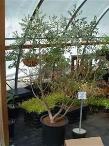 Eucalyptus En Pot : eucalyptus gunii mal en point au jardin forum de jardinage ~ Melissatoandfro.com Idées de Décoration