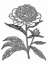 Flower Peony Coloring Pages Flowers Recommended sketch template