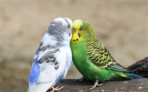 budgie bird budgies images 2 budgies hd wallpaper and background photos 36929996