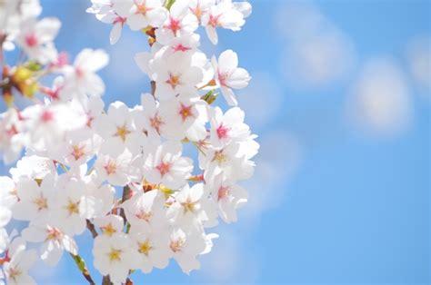 桜 画像 に対する画像結果