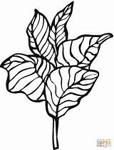 Lettuce Coloring Pages Template Printable sketch template