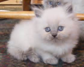himalayan cats for himalayan kittens photo page