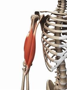 Biceps Muscles  Brachii  U0026 Brachialis
