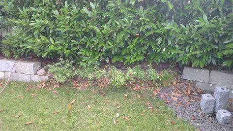 Kirschlorbeer-hecke Verliert Regelmäßig Viele Blätter