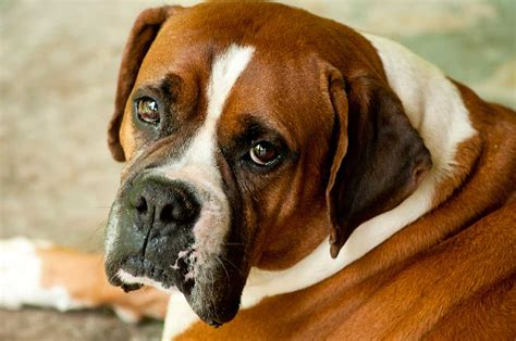 Bull-boxer Dog Breed » Everything About Boxer Bulldog Mixes