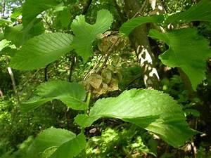 Гамамелис псориаз