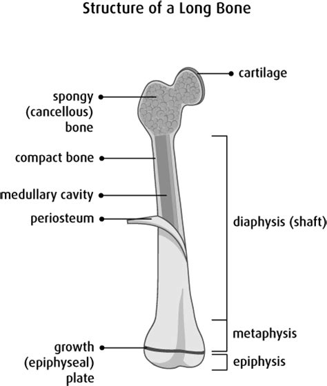 Simple Bone Diagram by Bone And Problems Canadian Cancer Society