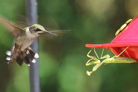 what do hummingbirds eat hummingbird predators what eats hummingbirds