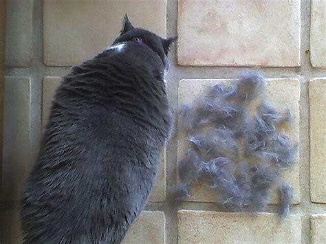 hair  shedding  scottish folds scottish fold cats