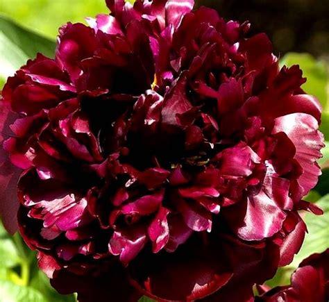Peonija pienziedu Black Beauty /Paeonia lactiflora/ - Peonijas - Katalogs - stadi-sakstagals.lv