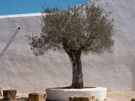 mediterrane bäume winterhart olivenbaum pflanzen so gelingt die auspflanzung in deutschland
