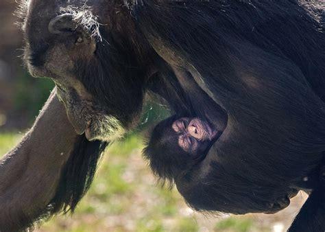 Baby Chimpanzee Born At North Carolina Zoo News The