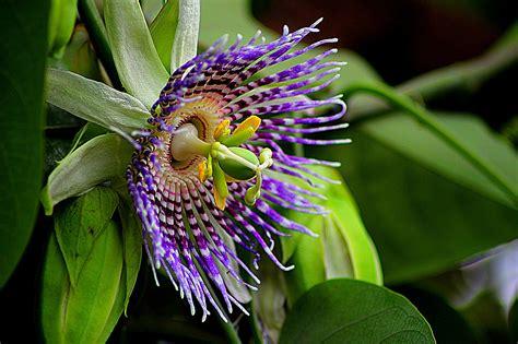 Passiflora edulis . Maracuyá, Granadilla, Frutos de Pasionaria, Fruta de la pasión, Maracujá de ...