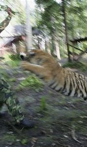 Siberian (Amur) Tiger: Siberian Tigers Trained To Live In Wild