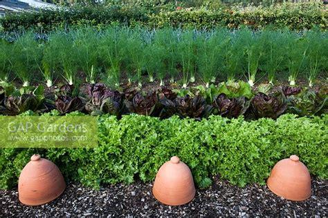 Kitchen Garden Varieties by Gap Gardens Mixed Salad Crops With Lettuce Varieties And