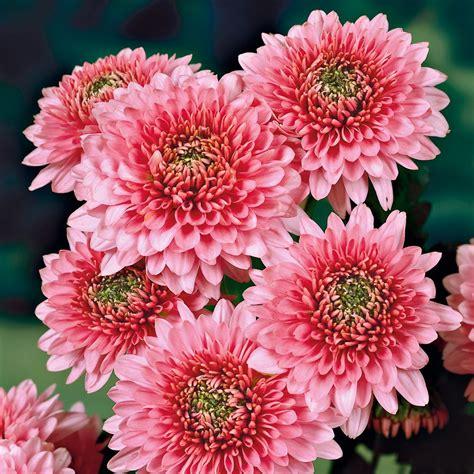Garten Chrysantheme Kaufen garten chrysanthemen sonja kaufen bei ahrens sieberz